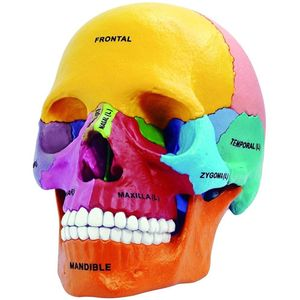 4D Didactic Exploded Human Skull Anatomy Model - Image One