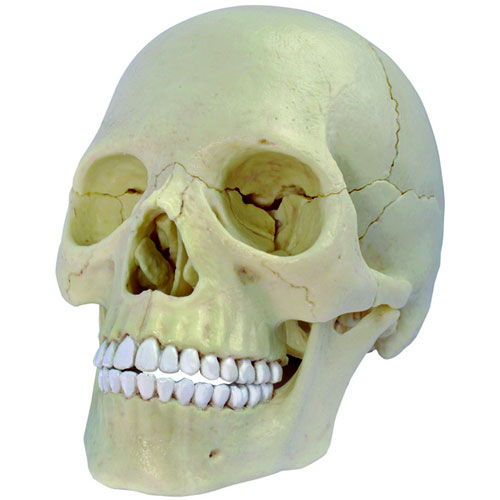 4D Exploded Skull Anatomy Model - Image one