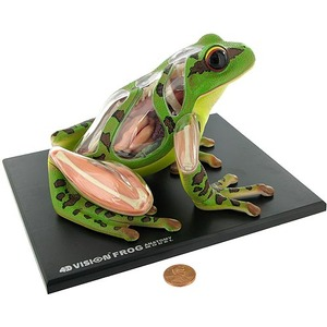4D Frog Anatomy Model - Image One
