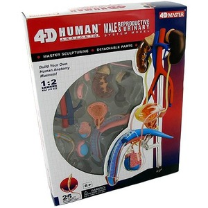 4D Male Reproductive Anatomy Model - Image One