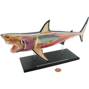 4D Great White Shark Anatomy Model - Image One