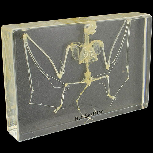 Bat Skeleton Specimen - Image one