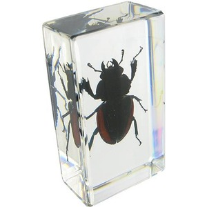 Blackish Stag Beetle - Image One