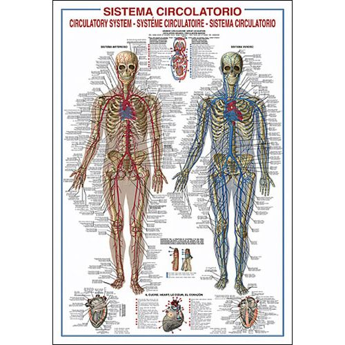 circulatory system. The Circulatory System Poster