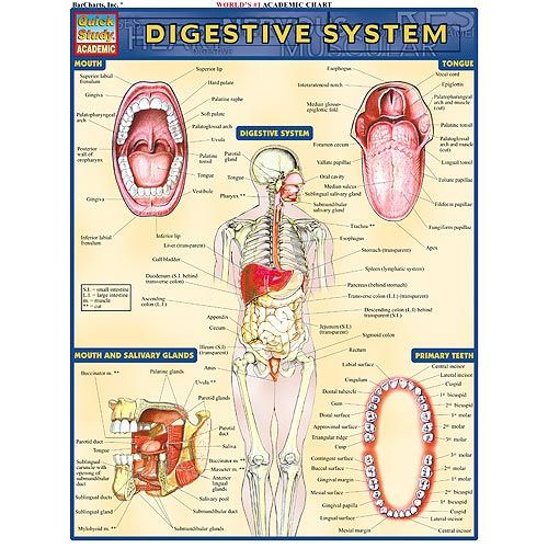 Digestive System Study Chart - Image one