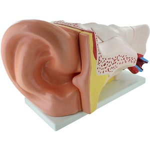 Human Ear Model - Large - Image One