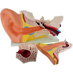 Human Ear Model - Large - Image two