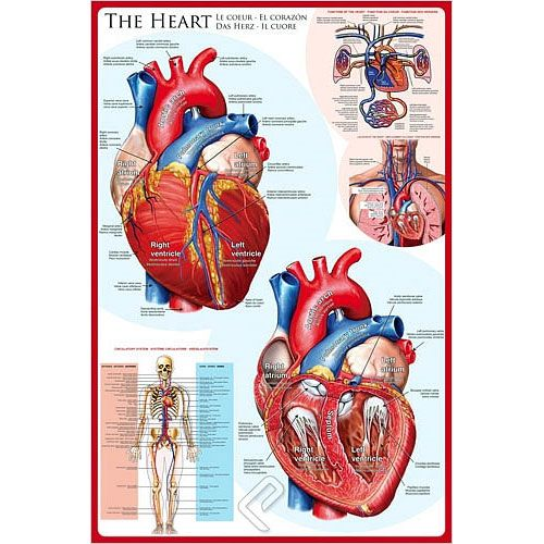The Heart Anatomy Poster | $13.00
