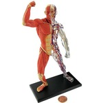 4D Human Muscle and Skeleton Model.