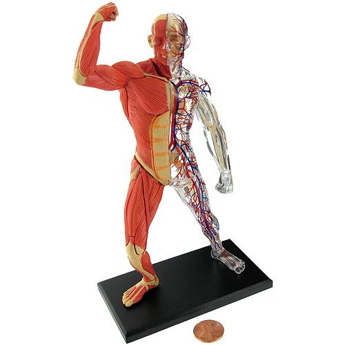 4D Human Muscle and Skeleton Model - Image one