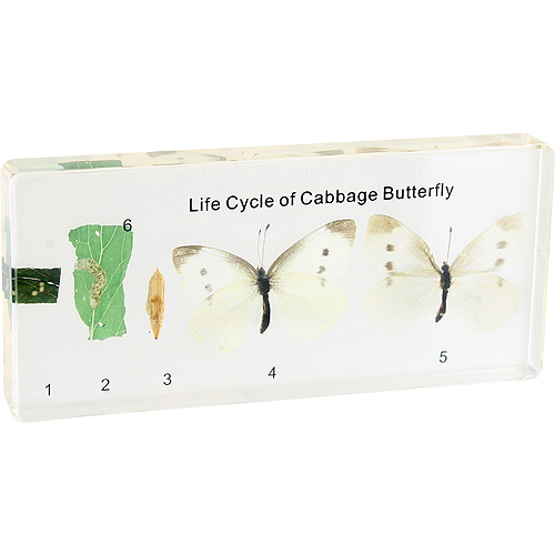 Life Cycle of Cabbage Butterfly - Real Specimen - Image one