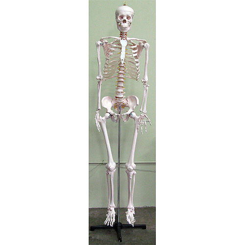 Life-Size Human Skeleton - Image one