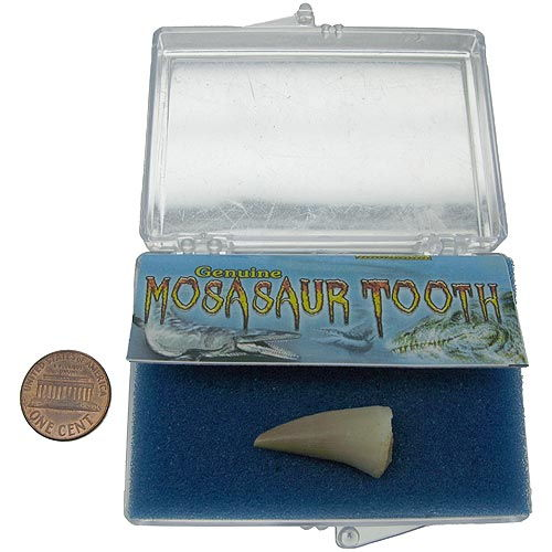 Mosasaur Dino Tooth - Image one