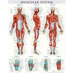 Muscular System Poster - Laminated.