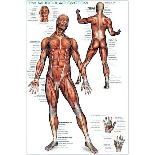 Muscular System Posters The Muscular System Poster