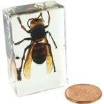 Wasp - Small Specimen.