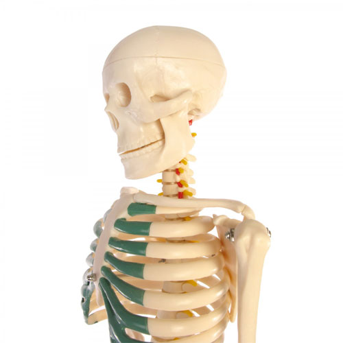 Skeleton Model With Nerves - 34 inches tall - Image two
