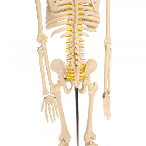 Skeleton Model With Nerves - 34 inches tall - Image three