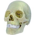 Photo of the: 4D Exploded Skull Anatomy Model