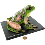Photo of the: 4D Frog Anatomy Model