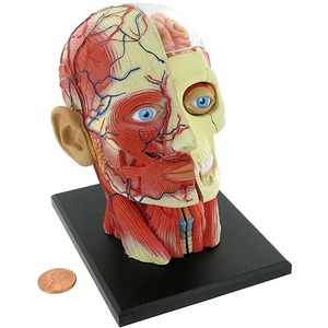 Photo of the: 4D Human Head Anatomy Model