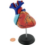 Photo of the: 4D Human Heart Anatomy Model