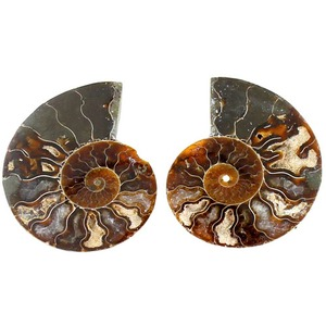 Photo of the: Ammonite Fossil Pair - 1.5 - 2 inch