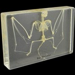 Photo of the: Bat Skeleton Specimen