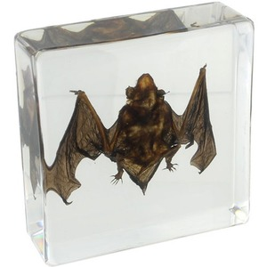 Photo of the: Bat Specimen