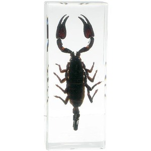 Photo of the: Black Scorpion Specimen - Large