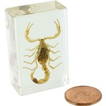 Photo of the: Brown Scorpion - Small Specimen