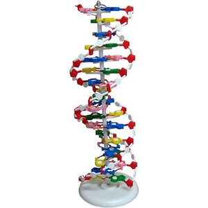 Photo of the: Large DNA Model - Classroom Demo