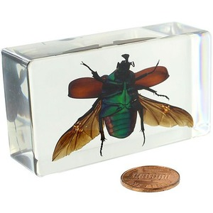 Photo of the: Green Rose Chafer Beetle - Open Wings Specimen