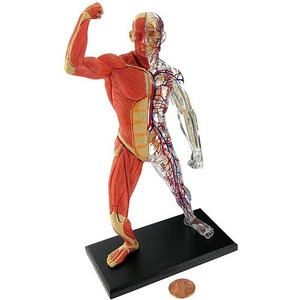 Photo of the: 4D Human Muscle and Skeleton Model