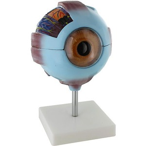 Photo of the: Human Eye Anatomy Model