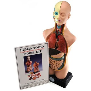 Photo of the: Human Anatomy Model - Large 20 in