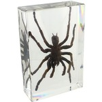 Photo of the: Large Tarantula Specimen