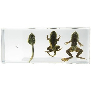 Photo of the: Life Cycle of Frog - Real Specimen