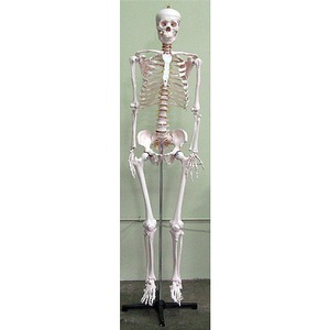 Photo of the: Life-Size Human Skeleton
