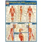 Photo of the: Muscular System Study Chart
