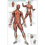 Photo of the: The Muscular System Poster