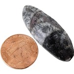 Photo of the: Orthoceras - 1 inch Real Fossil