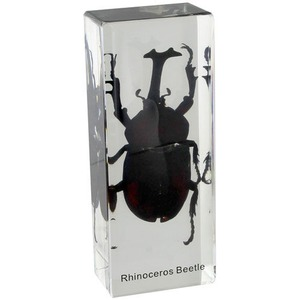 Photo of the: Rhinoceros Beetle Specimen