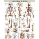 Photo of the: Skeletal System Poster - Laminated