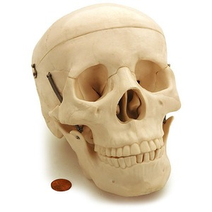 Photo of the: Human Skull Biology Model