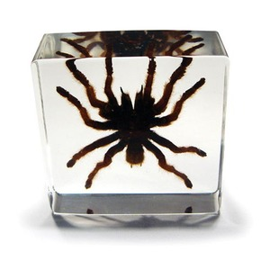 Photo of the: Tarantula Specimen