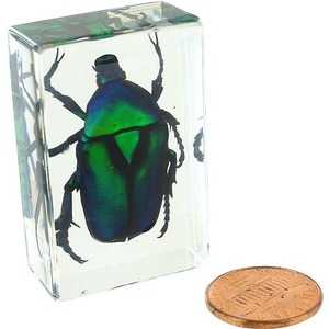 Photo of the Green Rose Chafer Beetle - Small Specimen
