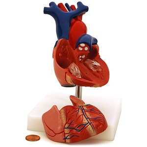 Photo of the Life-Size Human Heart Model