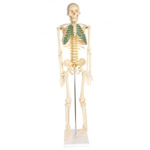 Photo of the: Skeleton Model With Nerves - 34 inches tall